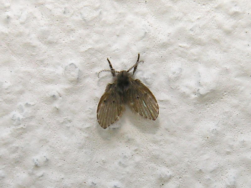 como eliminar moscas de drenaje