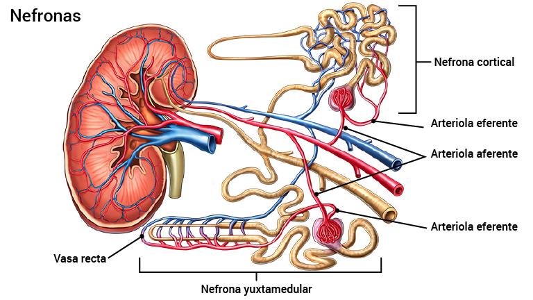 donde se encuentran los riñones