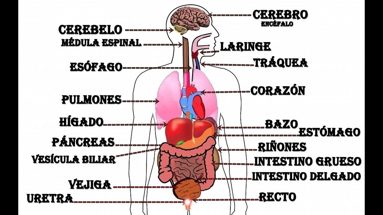 ubicacion de los riñones